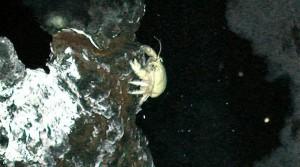 """""""En los ecosistemas en torno a fuentes hidrotermales, no hay luz del Sol así que los animales dependen de la energía química para sobrevivir"""", explicó el Prof. Rogers a BBC Mundo. Algunas bacterias pueden oxidar el sulfuro de hidrógeno o ácido sulfhídrico transformándolo en energía para los organismos que habitan este ecosistema. El primer cangrejo Yeti fue descubierto en el Pacífico en 2005. Esta nueva especie parece tener en sus pelos """"jardines de bacterias"""" de las que se alimenta."""