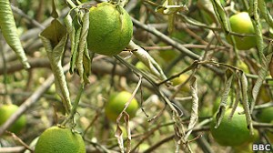 Estas naranjas nunca madurarán debido a la sequía
