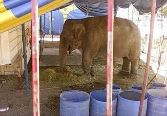 Declaran culpable a representante de circo Los Tachuelas por