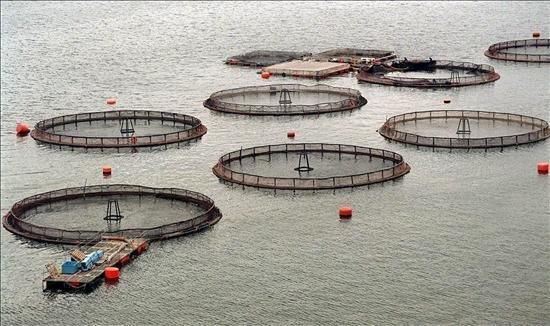 Superintendencia del Medio Ambiente en picada contra tres salmoneras por ubicar sus centros fuera de las áreas concesionadas
