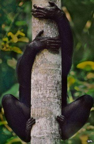 Para los bonobos la flexibilidad tiene uso.