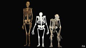Comparación entre esqueletos de Australopithecus sediba (centro), humano (izq.) y de chimpancé