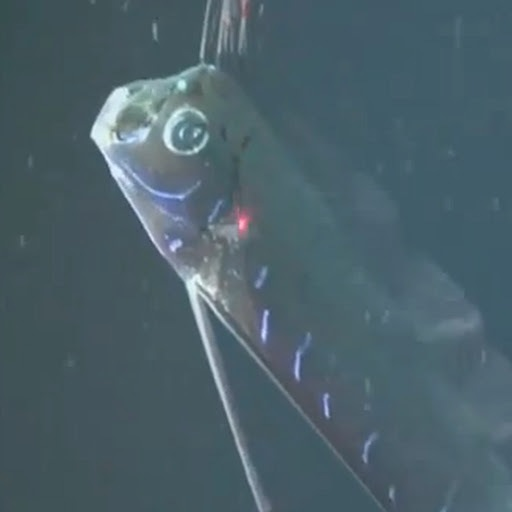 Pez gigante es filmado en el Golfo de México