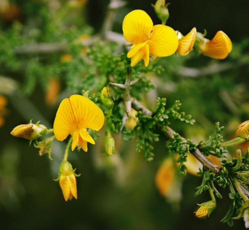 Este viernes lanzan nuevo sitio de la Enciclopedia de la Flora Chilena