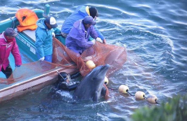 Japón enfrenta críticas y defiende la caza de delfines