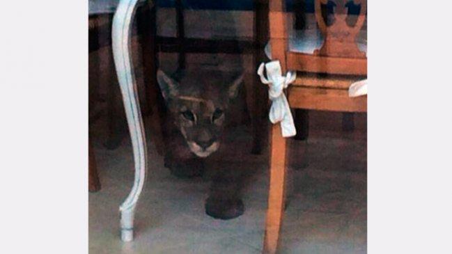 Puma fue encontrado al interior de una casa en Vitacura