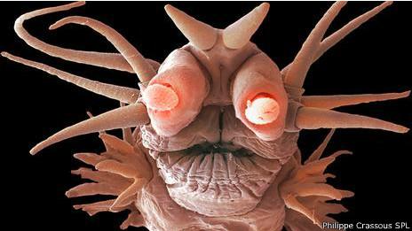 Este gusano marino vive al borde de una fuente hidrotermal en el fondo del Atlántico.