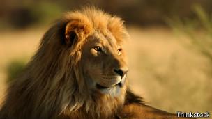 Los leones del sur africano corren menos peligro de extinción.