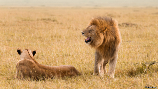 El análisis de ADN permitió rastrear la historia de estos grandes predadores.