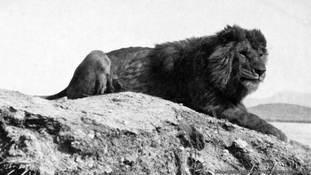 Según los testimonios, el león del Atlas era más grande que el resto.