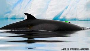 Los científicos colocaron dispositivos en dos ballenas para registrar ondas acústicas.