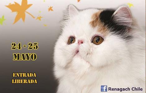 Gatos de todo Chile compiten este fin de semana en el XVI Show Felino Renagach