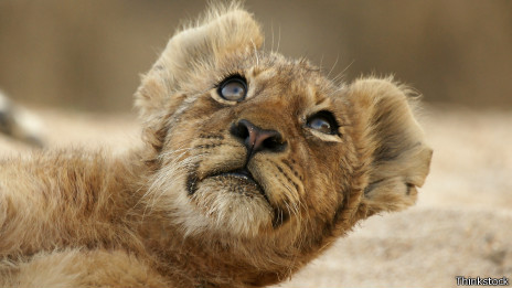 Los leoncitos nos parecen tiernos... cuando son pequeños.