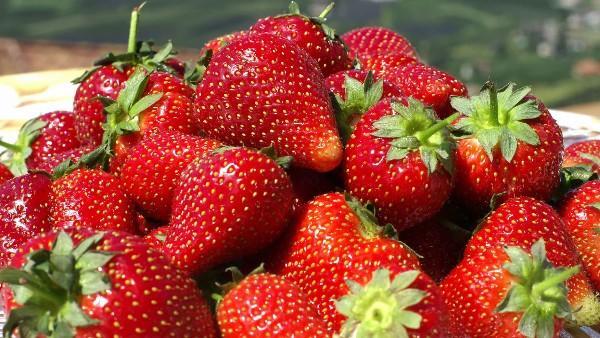 Corfo lanza programa para frutilleros de San Pedro de Melipilla por $120 millones