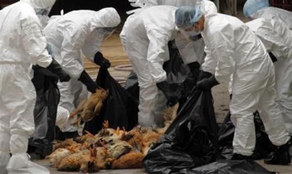 Más de 2,3 millones de aves sacrificadas para detener gripe aviar en Taiwán