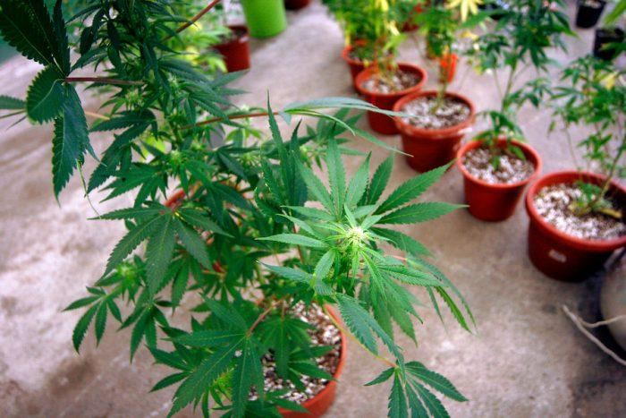 Sala de la Cámara de Diputados comenzó la discusión sobre proyecto de autocultivo de marihuana