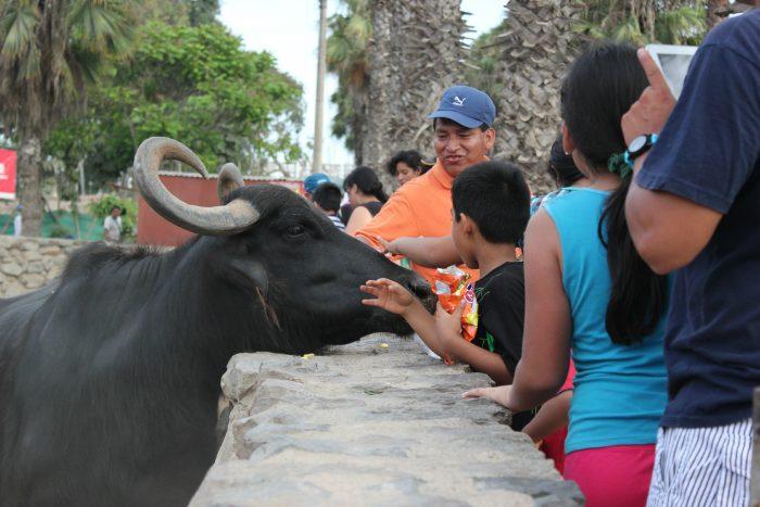Zoológico de Lima sacrificó animales para alimentar a otros, según informe
