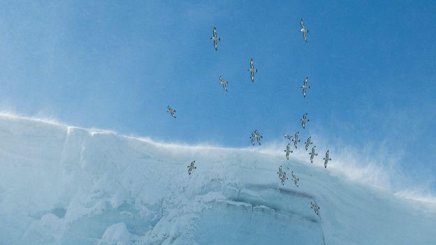 Aves que vuelan en los vientos cabáticos en Atártida.