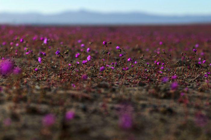 El desierto florido de Atacama, la otra cara de la catástrofe en el norte