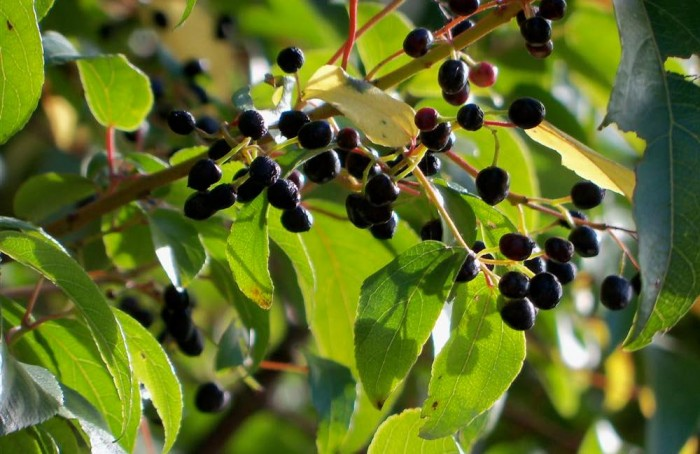 Los beneficios antioxidantes del maqui