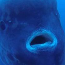 [Video] Graban enorme pez Mola Mola de 2300 kilos en Portugal
