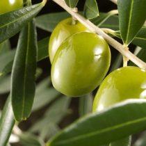 El olivo es un árbol