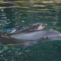 [Video] Nace Primer Bebé Delfín del Año en Discovery Cove