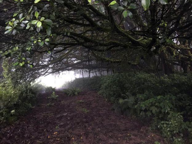 Ficus gigante con raíces aéreas, plantados en Green Mountain.