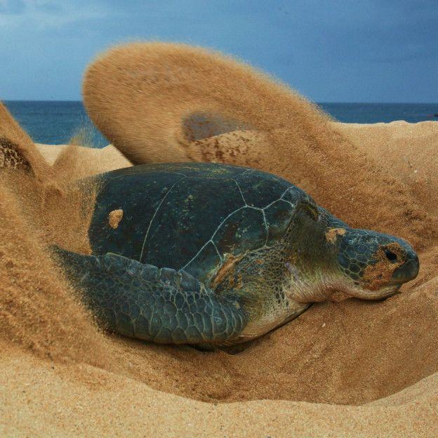 Ascensión tiene la segunda población de anidación más grande de tortuga verde de todo el Océano Atlántico.