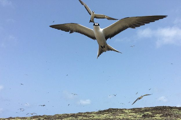 Gaviotas golondrina oscura o gaviotas monjas en la colonia de aves marinas Wideawake Fairs.