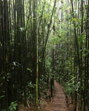 En la montaña hay hasta bambú, sembrado y ordenado.