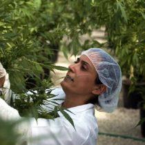 [VIDEO] La mayor plantación de marihuana medicinal de Chile comienza a dar sus frutos