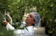 [VIDEO] La mayor plantación de marihuana medicinal de Chile comienza a dar sus frutos