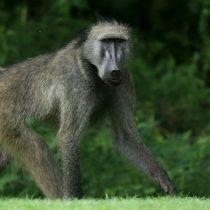 El mono que vivió durante dos años con un corazón de cerdo