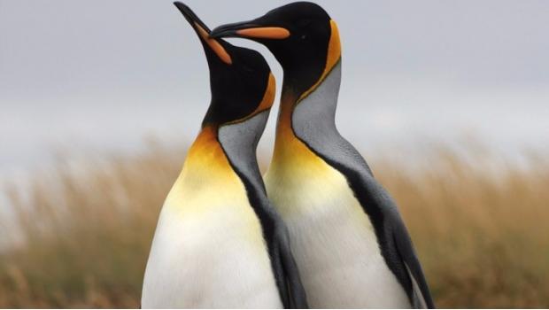 Pingüinos gays son trasladados a zoológico de Hamburgo