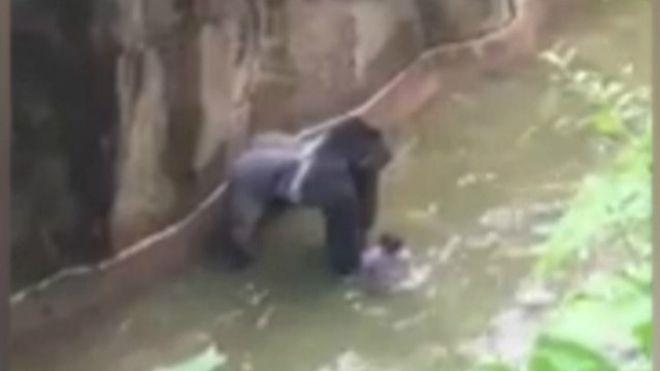 Polémica por el gorila que mataron porque un niño cayó en su recinto en el zoológico de Cincinnati, EE.UU.