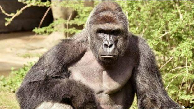 Harambe, de 17 años, participaba en un programa de reproducción de gorilas en cautiverio.