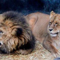 Franco a los leones: dos objeciones morales al protocolo del zoológico