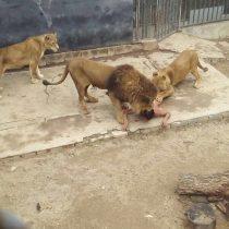 Sujeto grave tras ingresar a jaula de los leones en Zoológico Metropolitano