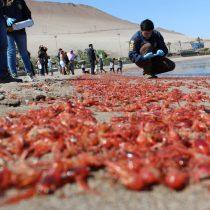 Preocupación en Arica por masiva varazón de langostinos y anchovetas en el borde costero