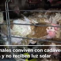 [VIDEO] Crudas imágenes de una granja de gallinas desata el debate del maltrato en Francia