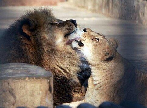 Con una ceremonia privada funcionarios del zoológico despiden a pareja de leones