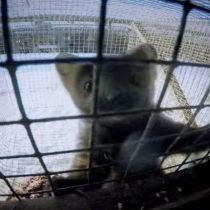 [VIDEO] La dura realidad dentro de una granja de pieles en Rusia