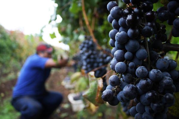 Viñedos sustentables: cuidando al medio ambiente y a los consumidores