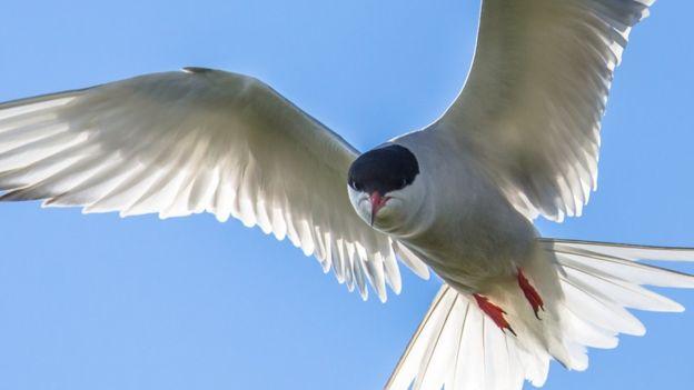 El extraordinario viaje del pájaro que voló el equivalente a más de dos vueltas a la Tierra