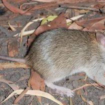 Desaparece la primera especie de mamífero a causa del cambio climático