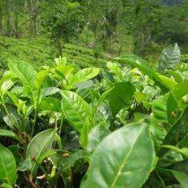 Ensayo clínico con té verde abre vía a posible terapia para el síndrome de Down