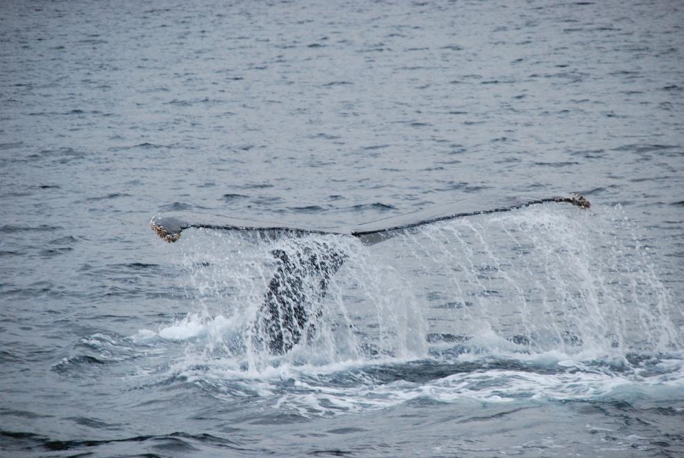 Ballena jorobada en Magallanes