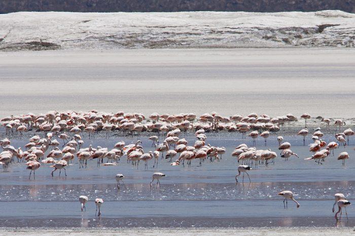 Boom del litio podría ser una amenaza para los flamencos del Salar de Atacama