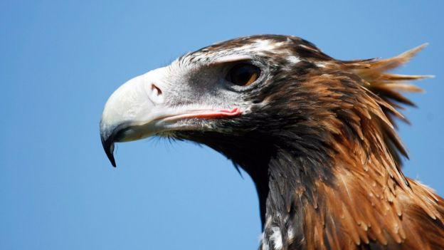 Con una envergadura de 2,3 metros, el águila audaz es la mayor ave de presa de Australia.